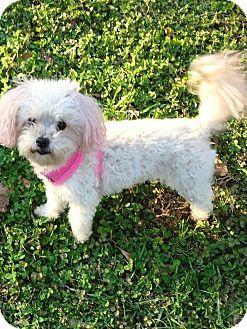 Jersey City Nj Maltese Tea Cup Poodle Mix Meet Yoshie Onda A Dog For Adoption Http Www Adoptapet Com Pet 1499995 Dog Adoption Poodle Mix Tea Cup Poodle