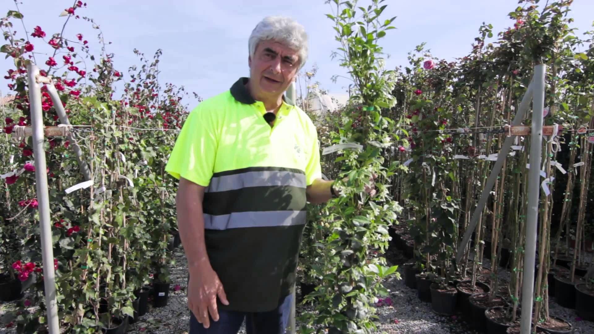 Plantas trepadoras para el jard n plantas macetas plantas trepadoras plantas y huerto - Cuidar hortensias exterior ...