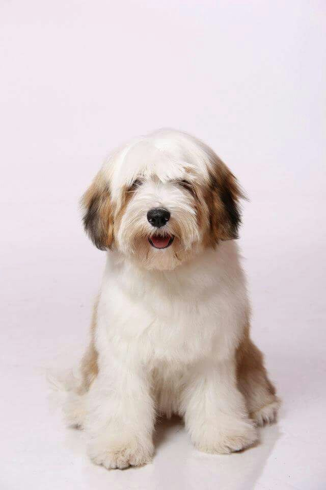 Tibetan terrier Tibetan terrier, D is for dog, Terrier