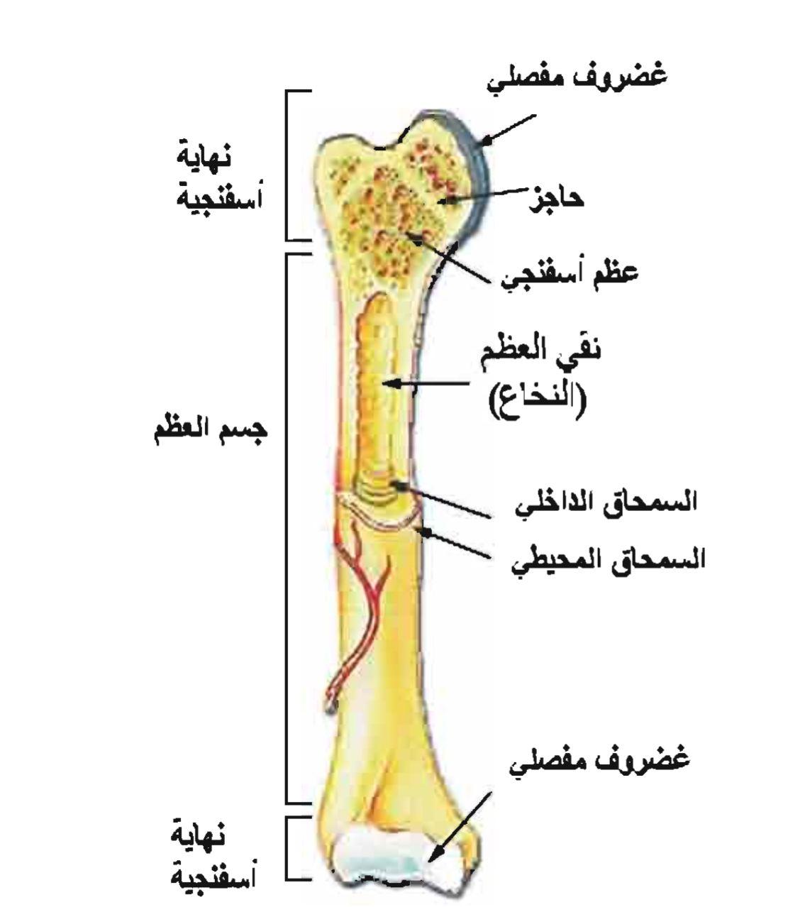 المظهر الخارجي للعظم
