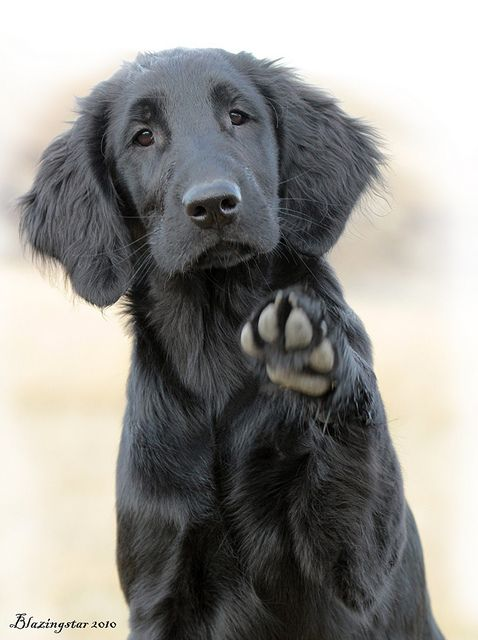 Flat Coated Retriever Pretty Much A Black Golden Gorgeous Dogs Cute Dogs Dog Love