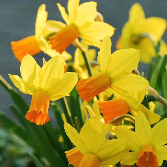 """Jetfire Daffodil: blooms early spring, full sun/part shade, 14"""", zones 4-8, non-native."""