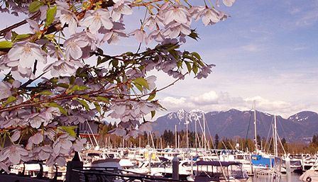 """""""This is why I live here!"""" is a phrase many Vancouverites exclaim during cherry blossom season. Each spring, as the rainy season fades, city dwellers pack their sweaters away and are rewarded with one of the world's most cheerful sites: 40,000 cherry trees bursting with pink and white blooms.  Best Places to View Cherry Blossoms in Vancouver. Click on the link to read more."""