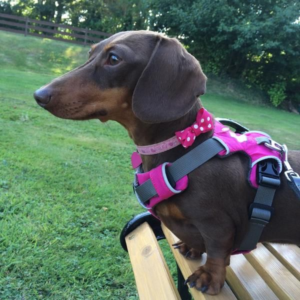 Front Range Harness New 2020 Dog Harness Dogs Dachshund