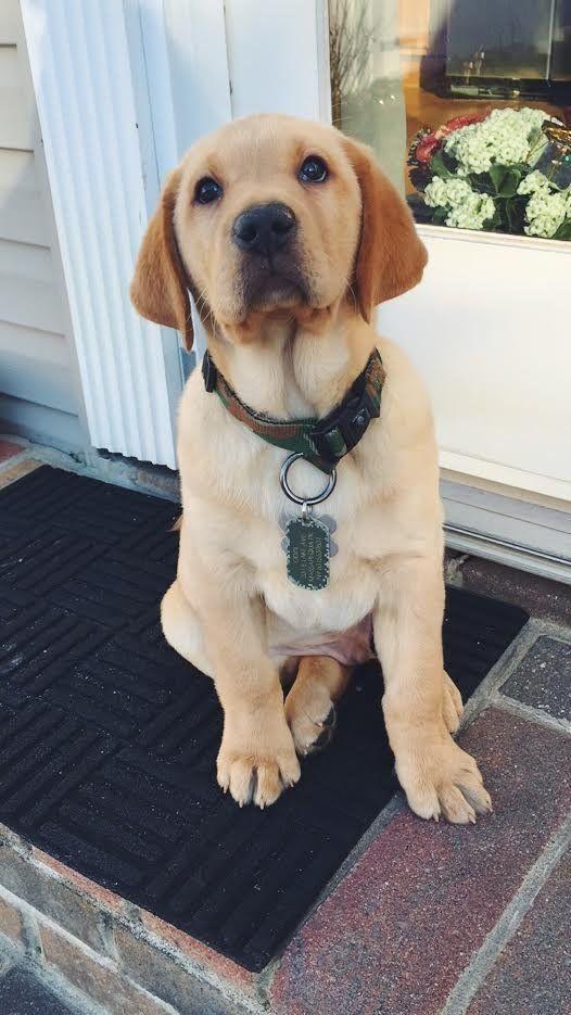 Labrador Retriever - Intelligent and Fun Loving #labradorretrieverpuppies