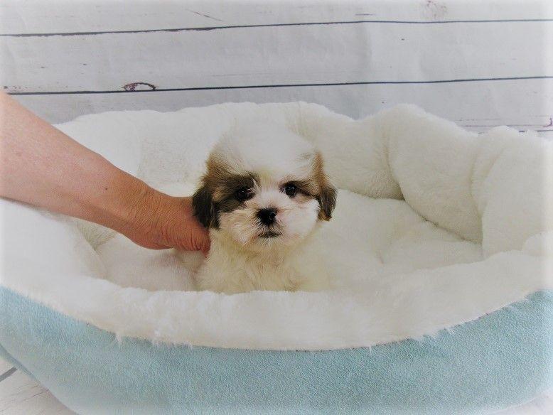 Shih Tzu Puppy For Sale In La Mirada Ca Adn 47083 On Puppyfinder