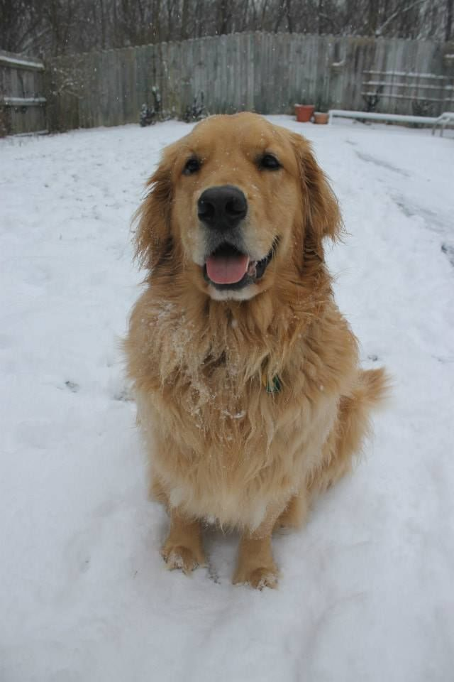 Handsome Golden Boy Bentley Golden Retriever Labrador Golden