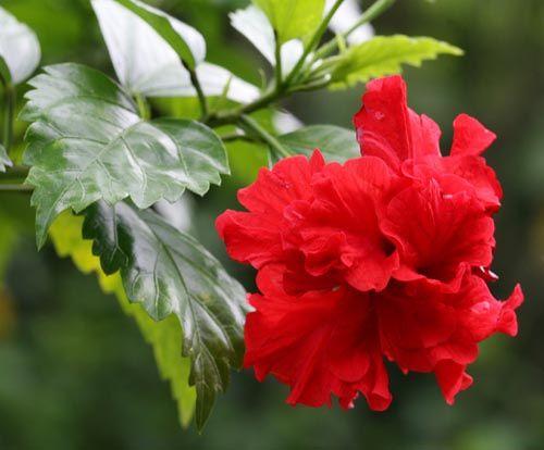 The Beautiful Hibiscus Flower 1 Hibiscus Plant Hibiscus Hibiscus Rosa Sinensis