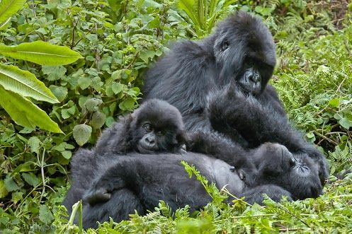 Family is one of natures masterpieces, no matter the species. Taken a few years ago in the Virungas National Park, Rwanda, I think this is one of the most tender and loving moments Ive witnessed.