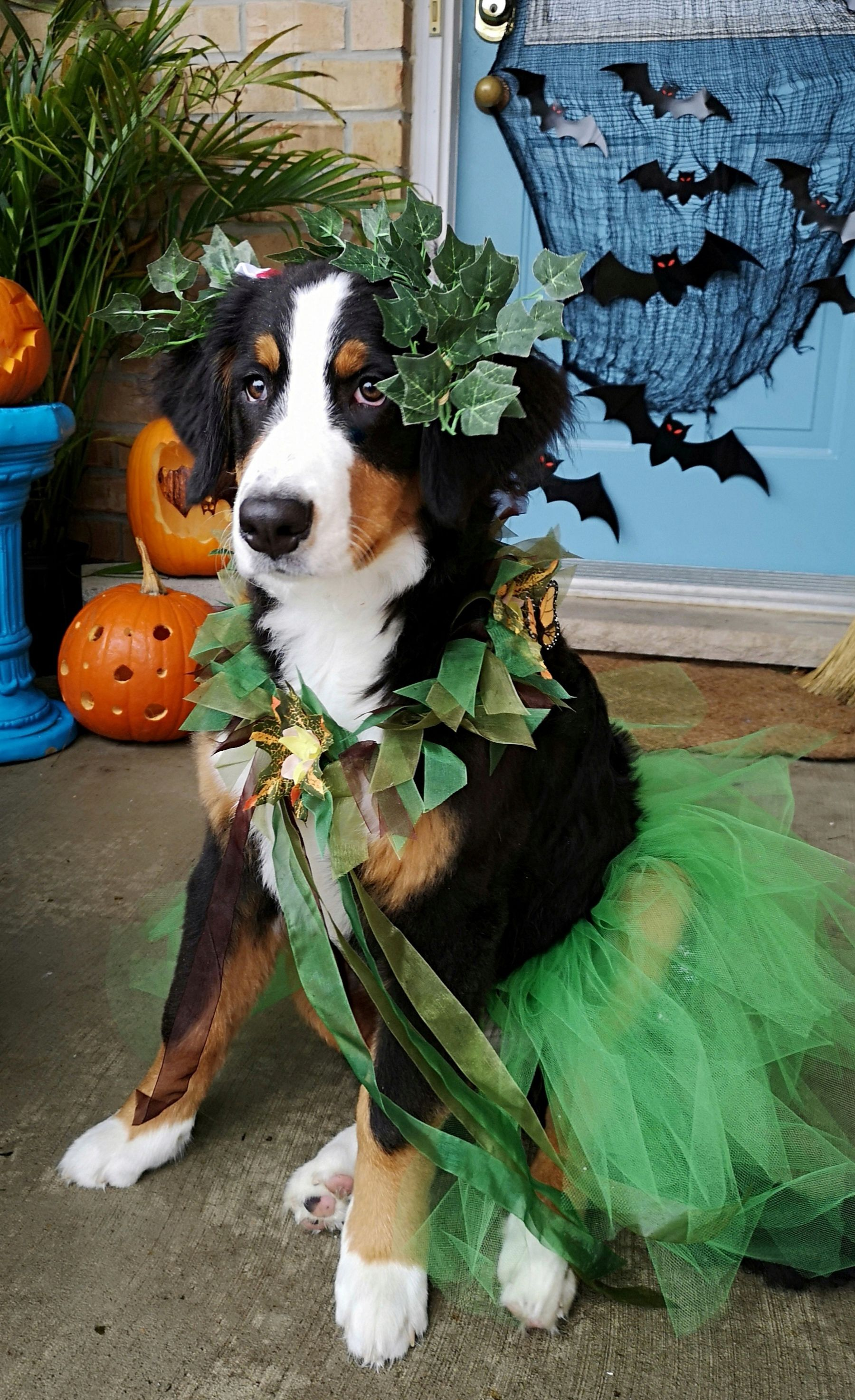 Poison Ivy Ivy S Halloween Costume Bernese Mountain Dog Puppy Puppy Halloween Costumes Bernese Mountain Dog