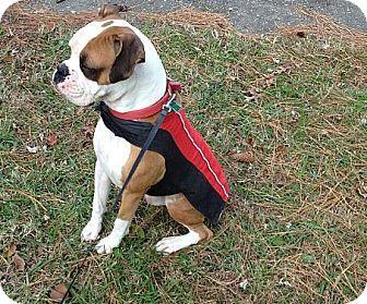 Hampton Va Boxer Meet Tyson A Dog For Adoption Puppy