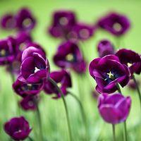 Fields of purple tulips