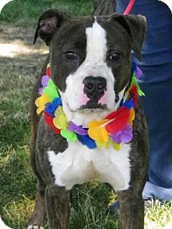 Pin By Arianna Seppala On Adopt Pitbull Terrier Bull Terrier
