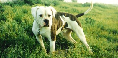 American Bulldog Chance From Homeward Bound The Incredible