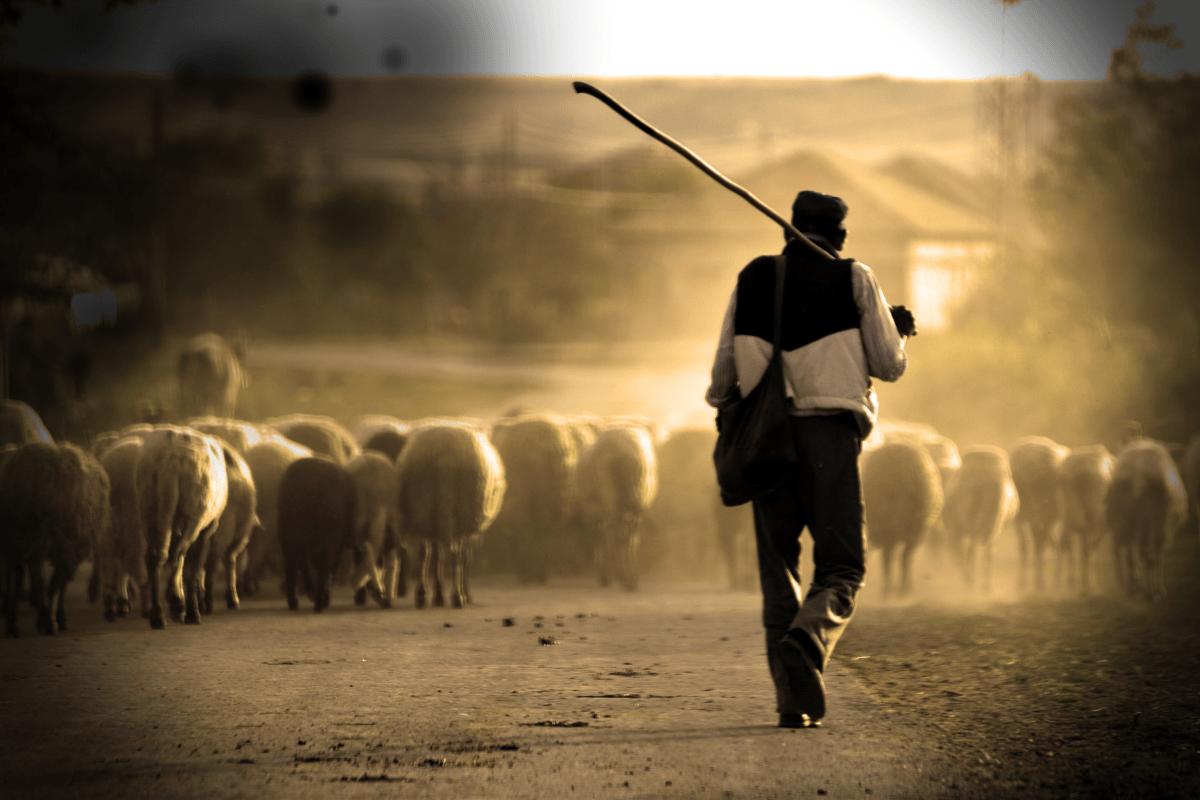 Pastor de ovejas | Pastor de ovejas, Pastor, Ovejas