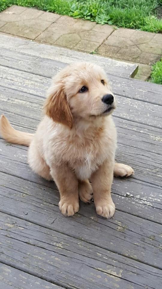 Pinterest Cmbenney Cute Puppies Golden Retriever Dogs