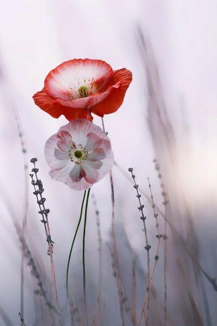 Fiori Kaori.Pin Di Kaori H Su Flower Papaveri Immagini Di Fiori Arte Del Fiore