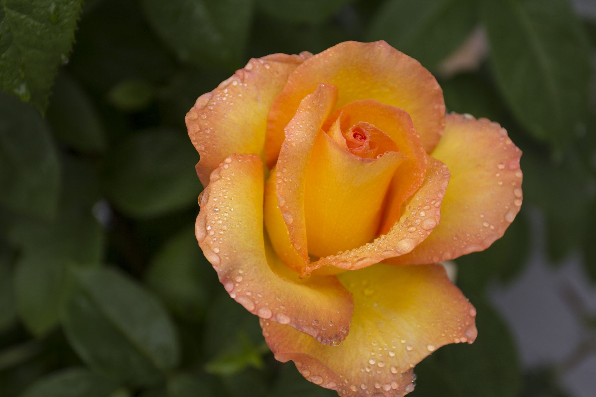 Yellow Rose Flower Farm Yellow Roses Types Of Flowers