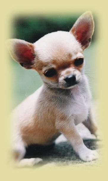 What A Cute Little Poppy Hes A Chihuahua Funny Chihuahua Pictures Cute Chihuahua Teacup Chihuahua Puppies