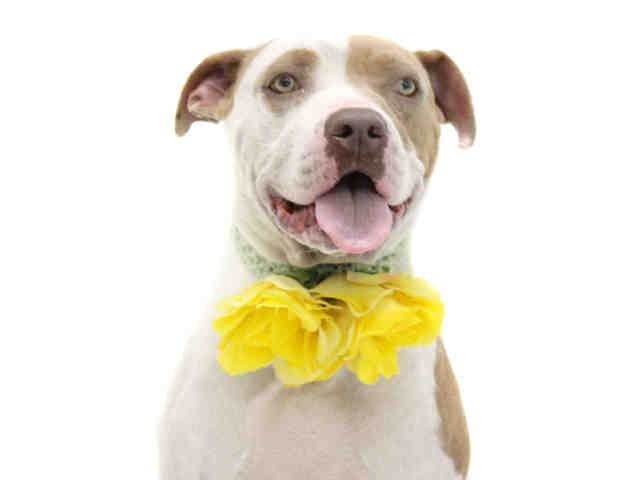 American Pit Bull Terrier Dog For Adoption In Orlando Fl Adn
