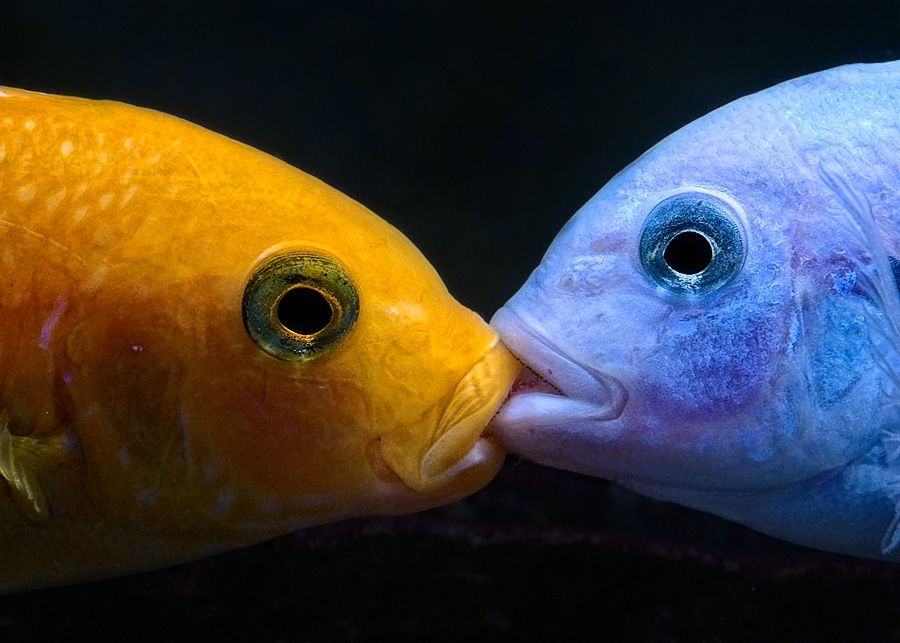 Red and Blue Zebra Cichlids fight for dominance in a lip lock.