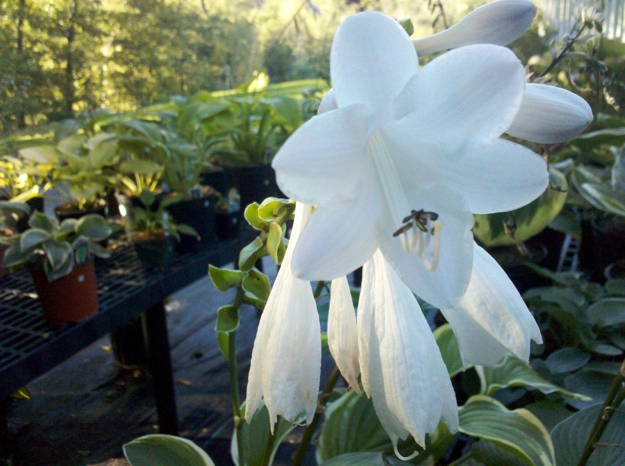 Hosta Diana Remembered Fragrant White Flowers My Hosta Gardens