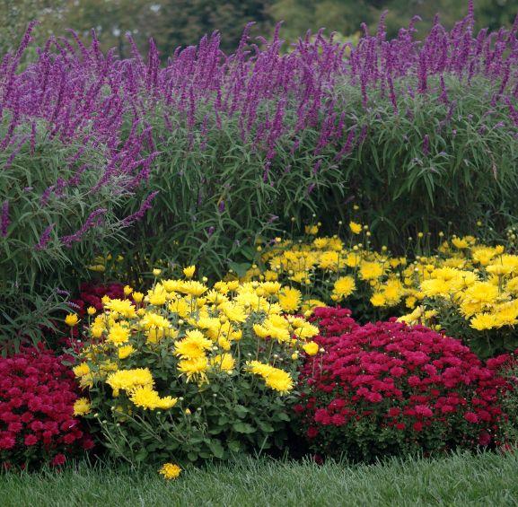 Garden Mum, Perennials, Plants