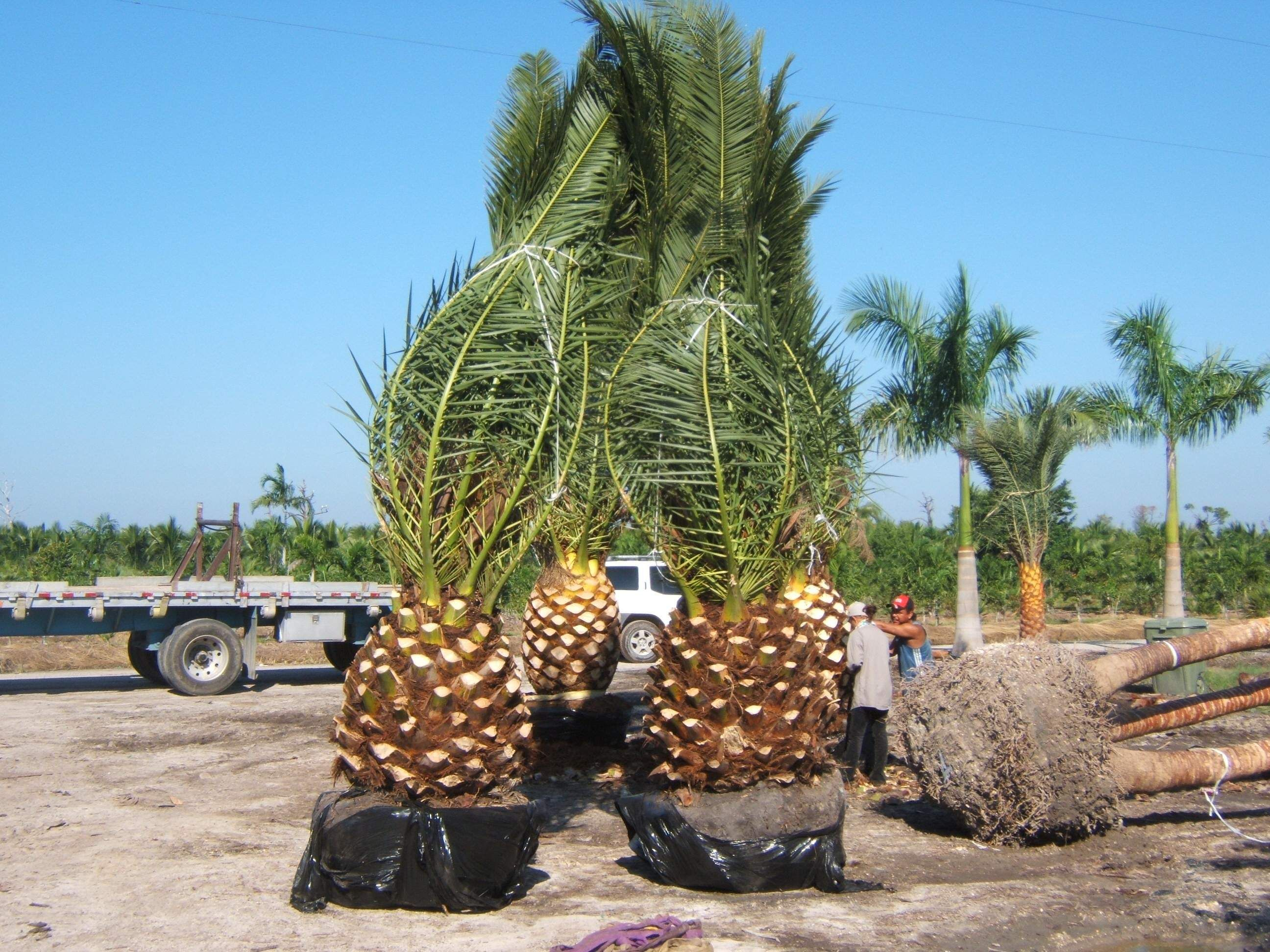 Christmas Palm Tree For Sale Part - 50: Buy Date Palms - Feild Grown Canary Island Date Palms 3-4 Feet Of Clear