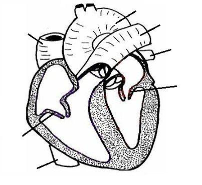 Rat circulatory system. | Biology Rhetoric Stage | Pinterest ...