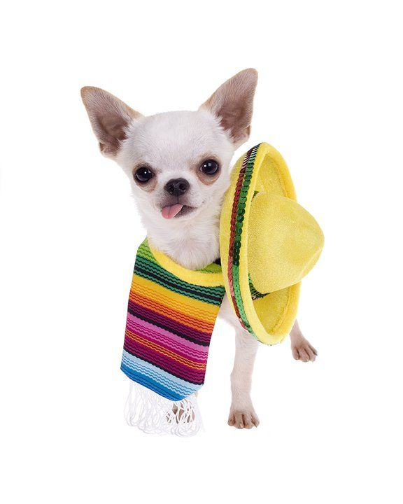A Chihuahua sporting his sombrero and poncho. puppied