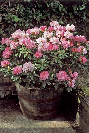 Em Lang Latin Xml Lang Latin Rhododendron Em Rhs Gardening Plants Container Flowers Planting Flowers