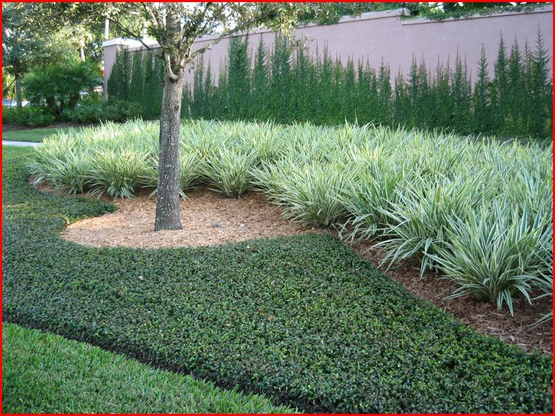 asian jasmine | Plant Guide / Groundcovers / Asiatic ...