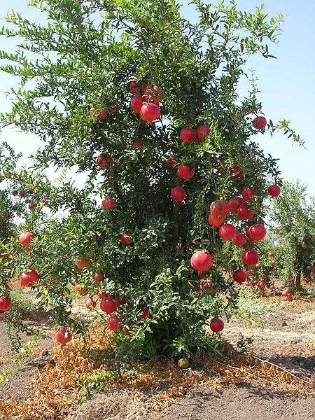 Best Time To Plant A Pomegranate Tree Www Ehow How 4762598 Grow Pomegranates Seeds Html From Long Does It Take For