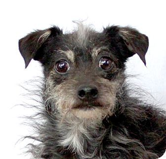 Wichita Falls, TX Terrier (Unknown Type, Small) Mix