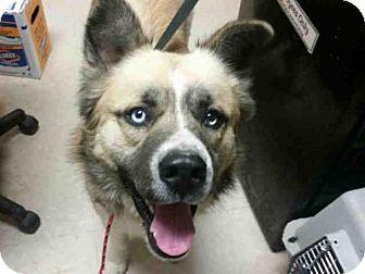 Rogers Ar Siberian Husky Mix Meet Kade A Dog For Adoption