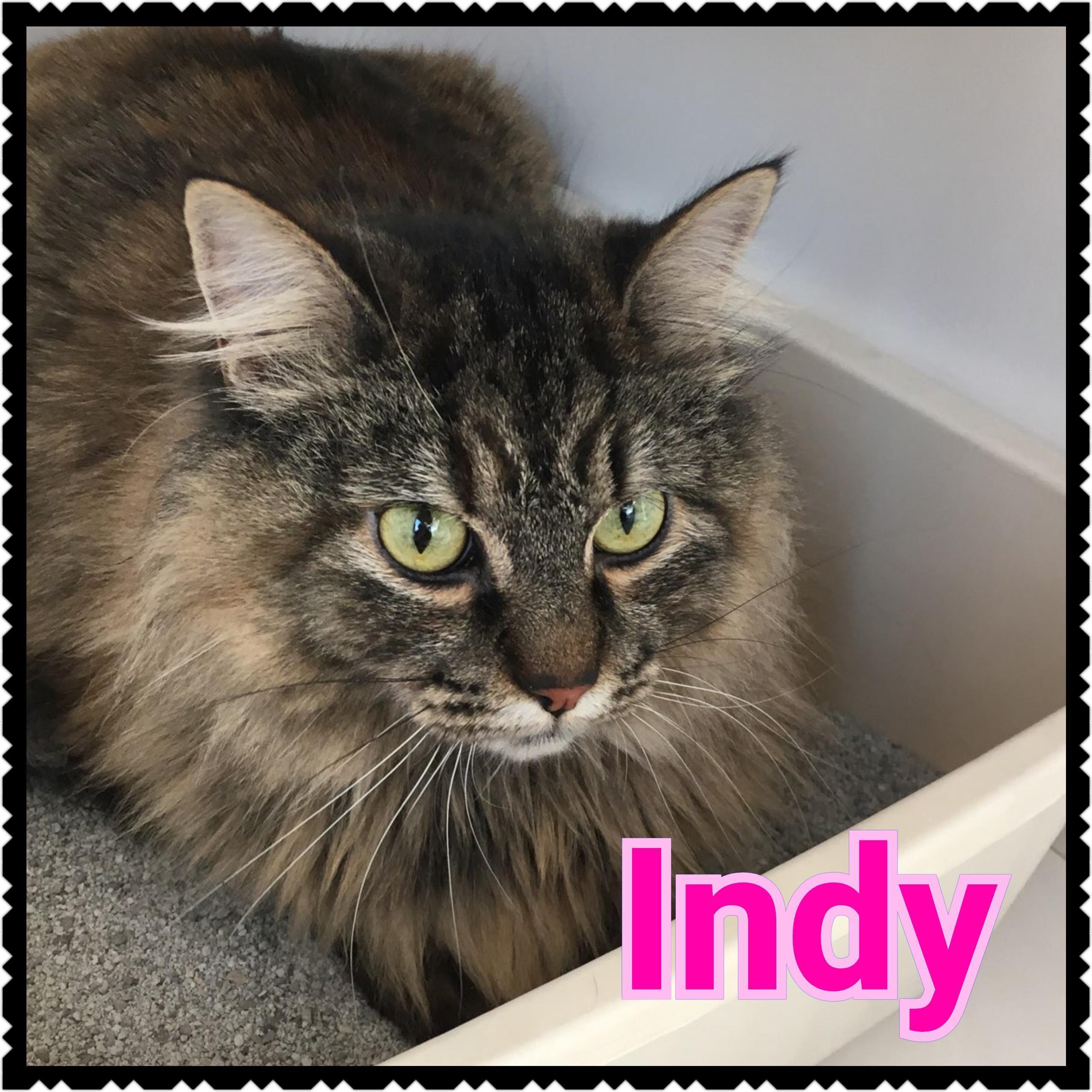 Adopt Indy On Cat Inc Help Homeless Pets Cat Adoption
