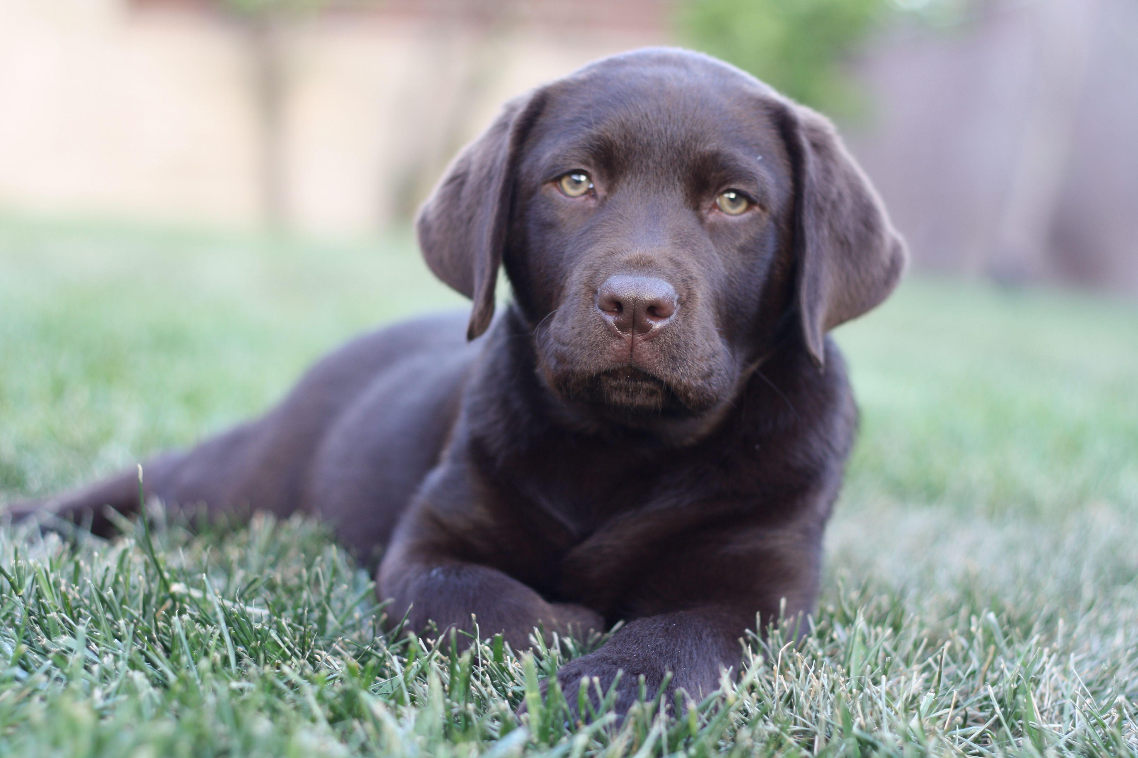 Es La Hora De Mi Paseo Labrador Retriever Puppies Puppies Lab Puppies