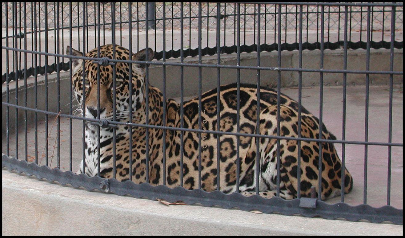 Lacumba Southern Jaguars Live Mascot Jaguars Image