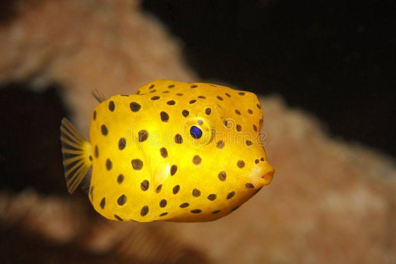 Yellow Boxfish Juvenile Ostracion Cubicus Swimming Near Coral In Lembeh Strai Sponsored Ostracion Cubicus Pet Fish Weird Fish Saltwater Fish Tanks
