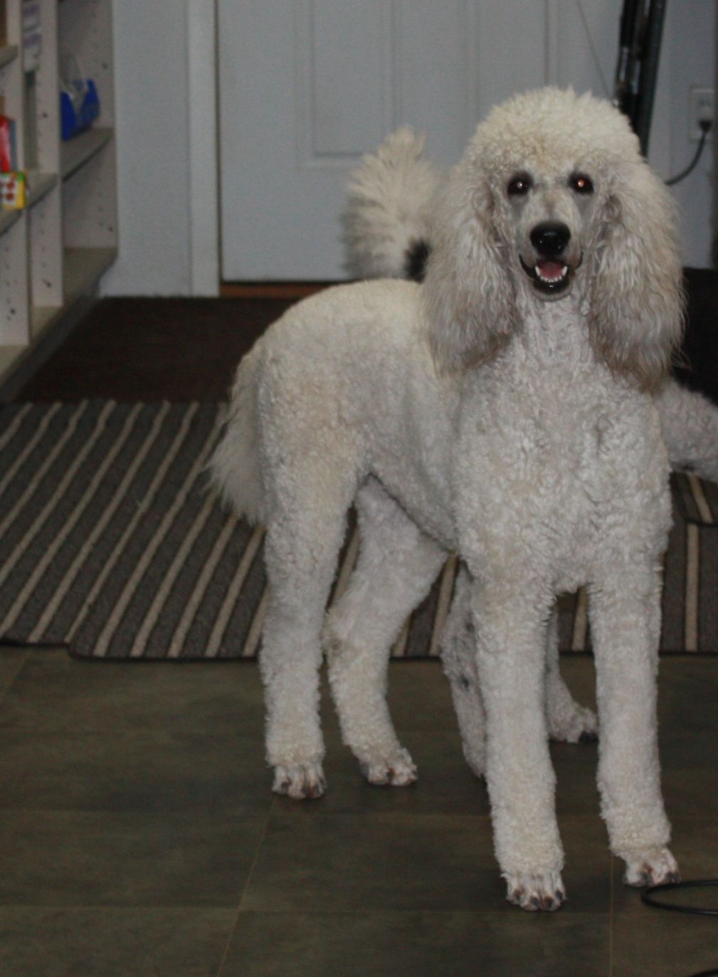 Welcome To Our Standard Poodle Females Page Please Take A Look At
