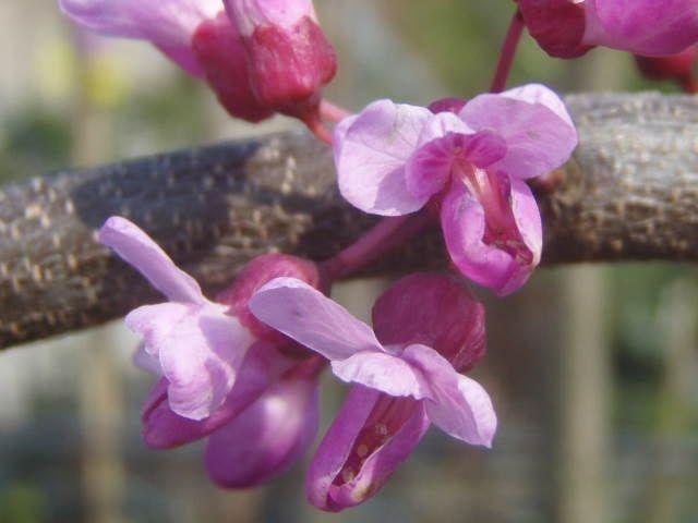 baumschule eggert bl tenstr ucher baumschulen heckenpflanzen cercis canadensis lavender. Black Bedroom Furniture Sets. Home Design Ideas