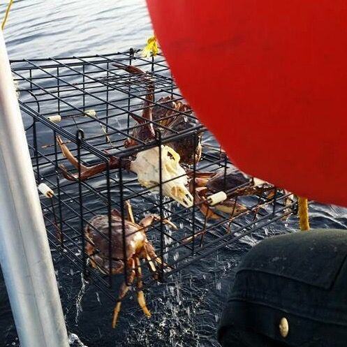Did you know skulls can be cleaned in lobster traps?