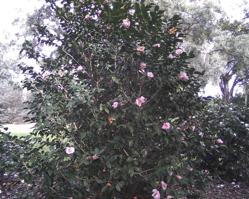 Camellia X High Fragrance Bush Missouri Botanical Garden Crape Myrtle Poisonous Plants