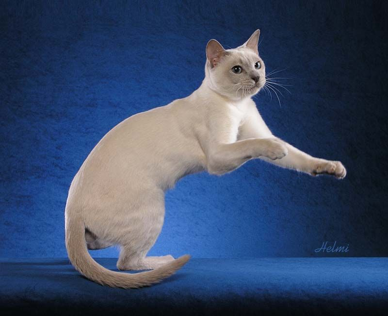 Tonkinese Cat Photo By Helmi Flick Tonkinese Cat Burmilla Cat Cats And Kittens