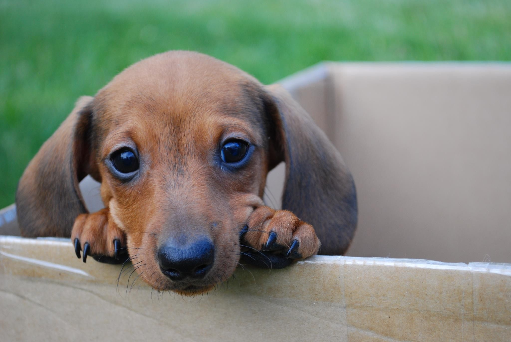 Cuteness Dachshund Puppies Doxie Puppies Weenie Dogs