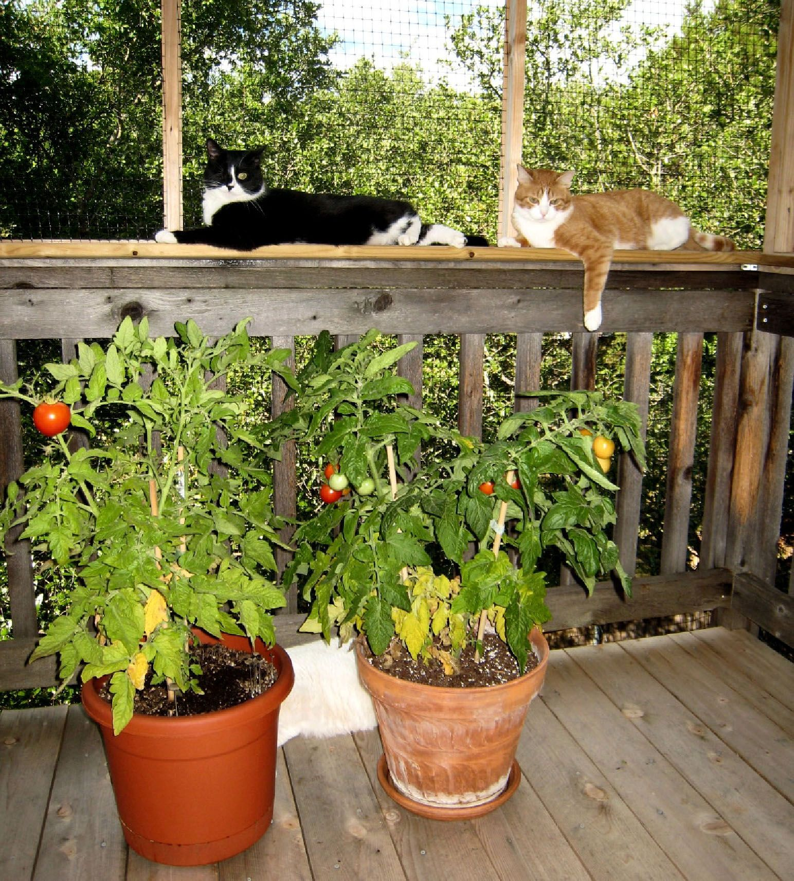 Checking on the Tomatoes Blossom discovers gardening.