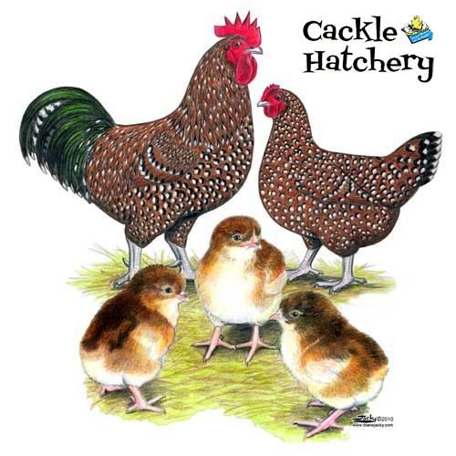 Speckled Sussex Chickens Hoover S Hatchery Wild And