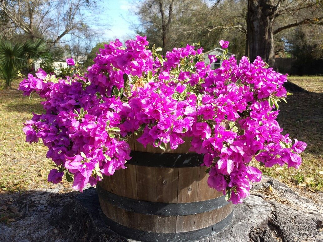 Mini  bougainvillea  2016