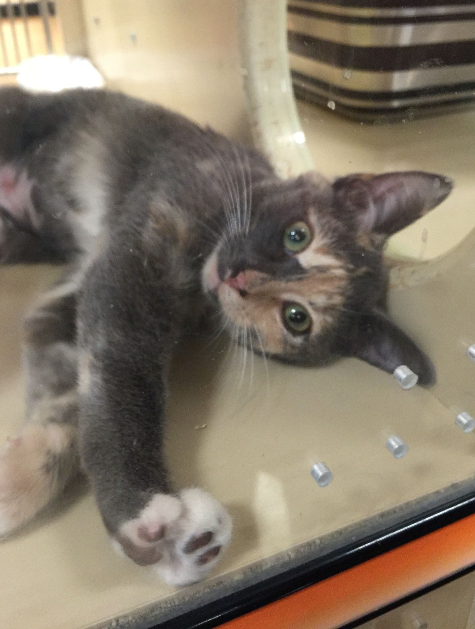 Our Adorable Sophie At Petsmart In Arden Nc She Is Awaiting Her Perfect Home She Has Become So Affectionate And Sweet An Foster Kittens Adoption Day Kittens