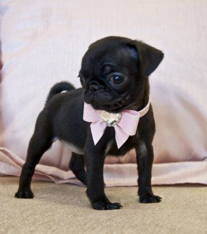Tiny Black Pug Princess1 8 Lb At 8 Weeks She Is A Very Rare Find